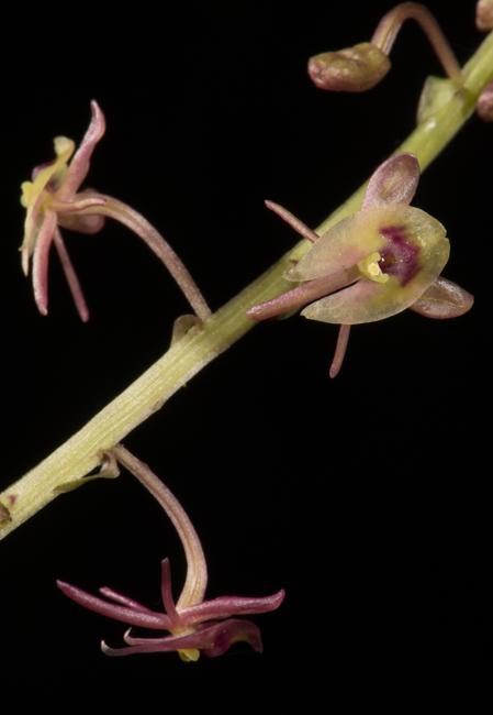 Crepidium sp.