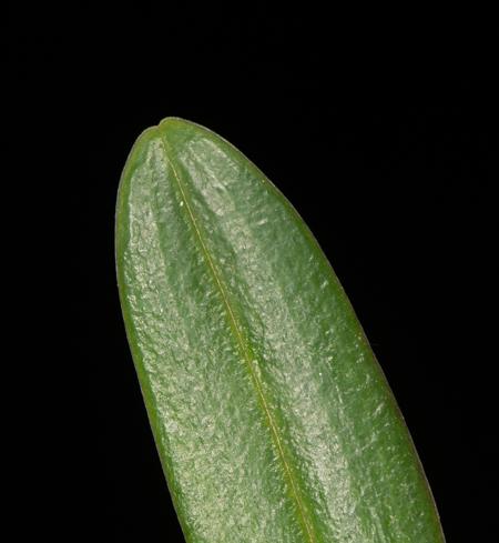 Leaf apex.