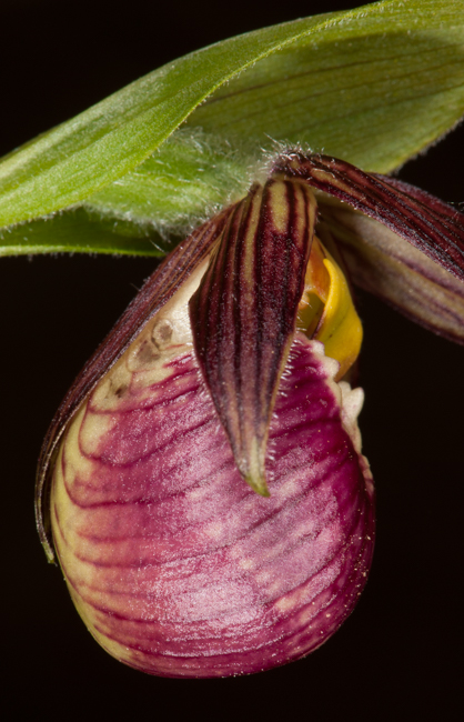 Cypripedium sp.