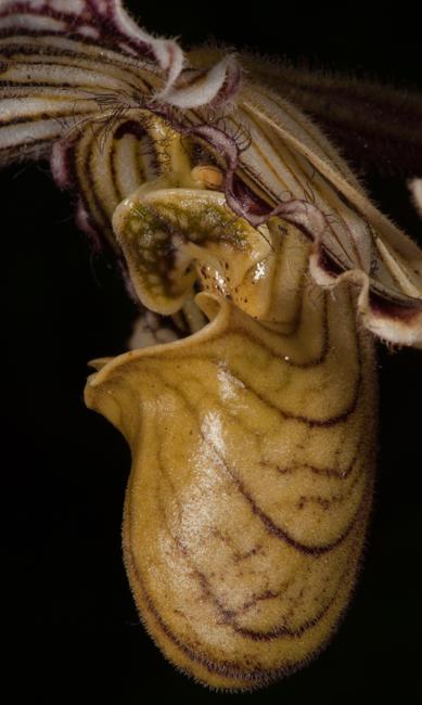 Paphiopedilum sp.