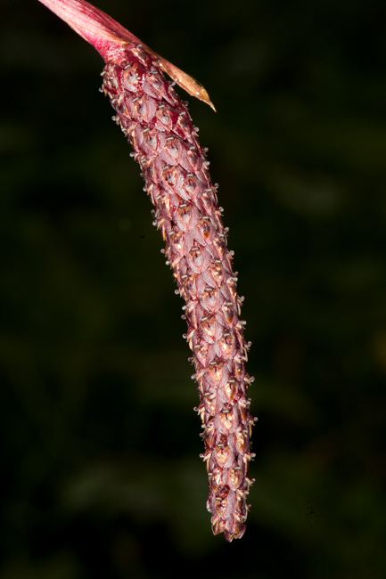 Bulbophyllum sp.